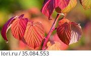 Red autumn raspberry leaves sway in the wind. Стоковое видео, видеограф Володина Ольга / Фотобанк Лори