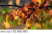 Beautiful red autumn pear leaves in the garden. Стоковое видео, видеограф Володина Ольга / Фотобанк Лори