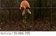 Ginger cat climbs over a fence made of metal lattice. Стоковое видео, видеограф Володина Ольга / Фотобанк Лори