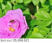 Пчела собирает пыльцу и нектар на цветке розы ругозы. Стоковое фото, фотограф Владимир Литвинов / Фотобанк Лори