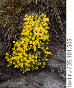 Vitaliana (Androsace vitaliana). Above Campitello di Fassa, Dolomites, Trentino, Italy. June. Стоковое фото, фотограф Paul  Harcourt Davies / Nature Picture Library / Фотобанк Лори