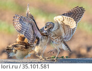Burrowing owl (Athene cunicularia) female feeding young, who are three... Стоковое фото, фотограф Jack Dykinga / Nature Picture Library / Фотобанк Лори