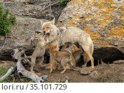 Coyote (Canis latrans) with newborn pups. Yellowstone National Park, Wyoming, USA. Стоковое фото, фотограф George Sanker / Nature Picture Library / Фотобанк Лори