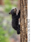 Black Bear (Ursus americanus) cub climbing tree. Yellowstone National Park, Wyoming. May. Стоковое фото, фотограф George Sanker / Nature Picture Library / Фотобанк Лори