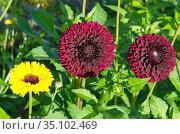 Цветущие георгины (лат. Dаhlia) в летнем саду. Стоковое фото, фотограф Елена Коромыслова / Фотобанк Лори