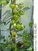 Зеленые томаты черри растут в теплице из поликарбоната. Стоковое фото, фотограф Елена Коромыслова / Фотобанк Лори