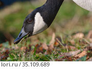Canada goose (Branta canadensis) foraging on the grassy margins of a lake, Wiltshire, UK, December. Стоковое фото, фотограф Nick Upton / Nature Picture Library / Фотобанк Лори