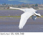 Mute swan (Cygnus olor) cob flying over flooded salt marshes bordering the River Severn estuary at high tide, Gloucestershire, UK, February. Стоковое фото, фотограф Nick Upton / Nature Picture Library / Фотобанк Лори