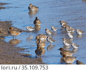 Ruff (Calidris pugnax) and Wigeon (Anas penelope) roosting on flooded pastureland, Gloucestershire, UK, February. Стоковое фото, фотограф Nick Upton / Nature Picture Library / Фотобанк Лори