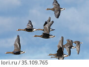 Greater white-fronted goose (Anser albifrons) flock flying against a blue sky, Gloucestershire, UK, February. Стоковое фото, фотограф Nick Upton / Nature Picture Library / Фотобанк Лори