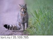Wild cat (Felis silvestris) Vosges, France. Стоковое фото, фотограф Fabrice Cahez / Nature Picture Library / Фотобанк Лори
