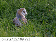 Barn owl (Tyto alba) on ground in field, Vendee, France, March. Стоковое фото, фотограф Fabrice Cahez / Nature Picture Library / Фотобанк Лори