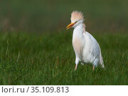 Western cattle egret (Bubulcus ibis) with crest raised, Vendee, France, March. Стоковое фото, фотограф Fabrice Cahez / Nature Picture Library / Фотобанк Лори
