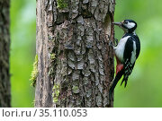 Great Spotted Woodpecker (Dendrocopos major) at nest hole in tree trunk, France. Стоковое фото, фотограф Fabrice Cahez / Nature Picture Library / Фотобанк Лори