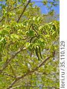 Цветущая лапина ясенелистная (Pterocarya fraxinifolia) Стоковое фото, фотограф Ирина Борсученко / Фотобанк Лори