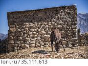 Donkey on farm at Cabanaconde, Colca Canyon, Peru. Стоковое фото, фотограф Matthew Williams-Ellis / age Fotostock / Фотобанк Лори