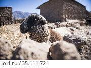 Sheep on farm at Cabanaconde, Colca Canyon, Peru. Стоковое фото, фотограф Matthew Williams-Ellis / age Fotostock / Фотобанк Лори