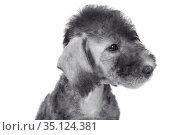 Portrait of purebred Bedlington Terrier puppy. Стоковое фото, фотограф Алексей Кузнецов / Фотобанк Лори