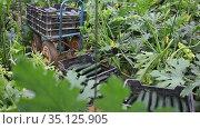 Ripe zucchini in boxes on a farm field. Harvesting. Стоковое видео, видеограф Яков Филимонов / Фотобанк Лори