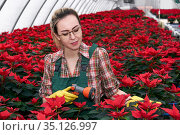 Woman gardener in greenhouse prepares to water poinsettia flowers with spray nozzle. Стоковое фото, фотограф Евгений Харитонов / Фотобанк Лори