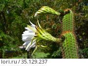 Golden column or golden torch (Echinopsis spachiana or Trichocereus... Стоковое фото, фотограф J M Barres / age Fotostock / Фотобанк Лори