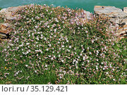 Bladder campion (Silene vulgaris) is perennial plant native to Europe... Стоковое фото, фотограф J M Barres / age Fotostock / Фотобанк Лори
