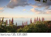Lupines with Atlantic Ocean, Maine. Стоковое фото, фотограф Matthew Lovette / age Fotostock / Фотобанк Лори