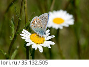 Common blue butterfly (Polyommatus icarus) malepollinating and taking nectar from an ox-eye daisy flower, Berkshire, England, UK, May. Стоковое фото, фотограф Nigel Cattlin / Nature Picture Library / Фотобанк Лори