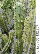 Candelabra cactus (Myrtillocactus cochal) with flowers, near Mission San Borja, Central Baja California, Mexico. March. Стоковое фото, фотограф Jeff Foott / Nature Picture Library / Фотобанк Лори