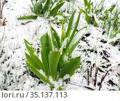 Молодые тюльпаны покрыты снегом во время заморозков. Стоковое фото, фотограф Вячеслав Палес / Фотобанк Лори