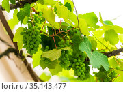 branch with small green unripe berries of the grapes. Стоковое фото, фотограф Константин Лабунский / Фотобанк Лори