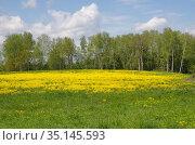 Весенний пейзаж с цветущим рапсом и березами. Стоковое фото, фотограф Елена Коромыслова / Фотобанк Лори