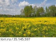 Пейзаж с полем цветущего рапса (лат. Brassica napus) в солнечный весенний день. Стоковое фото, фотограф Елена Коромыслова / Фотобанк Лори