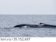 Injured dorsal fin of Blue whale sticking out of the surface (Balaenoptera musculus brevicauda). This may be the pygmy sub-species of blue whale, Balaenoptera... Стоковое фото, фотограф Franco Banfi / Nature Picture Library / Фотобанк Лори
