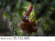 RF - Bornean orangutan (Pongo pygmaeus) male climbing in rainforest... Стоковое фото, фотограф Nick Garbutt / Nature Picture Library / Фотобанк Лори