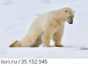 Polar bear (Ursus maritimus) stretching, Svalbard, Spitzbergen, Arctic Norway May. Стоковое фото, фотограф Staffan Widstrand / Nature Picture Library / Фотобанк Лори