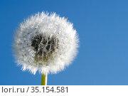 Dandelion flowers. France. Стоковое фото, фотограф Pascal Deloche / Godong / age Fotostock / Фотобанк Лори