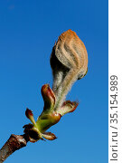 Spring. Bud on a chestnut tree. France. Стоковое фото, фотограф Pascal Deloche / Godong / age Fotostock / Фотобанк Лори