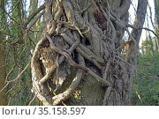 Large ivy vines climbing around the trunk of a tree, Eure-et-Loir... Стоковое фото, фотограф Christian Goupi / age Fotostock / Фотобанк Лори