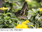 Pale green triangle butterfly (Graphium eurypylus), nectaring. Ventral... Стоковое фото, фотограф Arthur S. Ruffino / age Fotostock / Фотобанк Лори