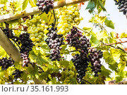Vine with ripening bunches of black and white grapes on the plot near the house. Стоковое фото, фотограф Наталья Волкова / Фотобанк Лори