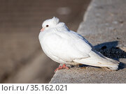 A beautiful white dove with a tuft on the back of its head sits on a concrete slab and bask in the sun. Стоковое фото, фотограф ok_fotoday / Фотобанк Лори