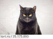 Портрет чёрной кошки с жёлтыми глазами на светлом фоне. Стоковое фото, фотограф glokaya_kuzdra / Фотобанк Лори