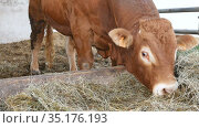 One red brown Limousin bull standing in the lair and eating hay. Eco farming, Chinese zodiac, symbol of the year concepts. Стоковое видео, видеограф Ольга Балынская / Фотобанк Лори