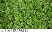 Closeup of fresh greenery of young lettuce leaves grown in greenhouse. Стоковое видео, видеограф Яков Филимонов / Фотобанк Лори
