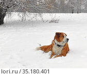 Cross between Akita Inu and Greater Swiss Mountain Dog on snow in park. Moscow. Стоковое фото, фотограф Валерия Попова / Фотобанк Лори