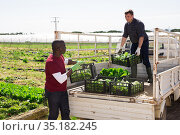 Movers load boxes of lettuce in truck on field. Стоковое фото, фотограф Яков Филимонов / Фотобанк Лори