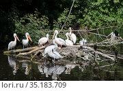 Кудрявые пеликаны (лат. Pelecanus crispus) на водоеме. Стоковое фото, фотограф Елена Коромыслова / Фотобанк Лори