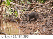 Feral pig (Sus scrofa) at water's edge. Daintree Rainforest... Стоковое фото, фотограф Jurgen Freund / Nature Picture Library / Фотобанк Лори