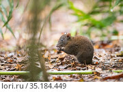 Musky rat-kangaroo (Hypsiprymnodon moschatus) feeding, in leaf litter. Queensland, Australia. Стоковое фото, фотограф Jurgen Freund / Nature Picture Library / Фотобанк Лори